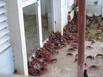 Invasión de cangrejos rojos en Guanahacabibes