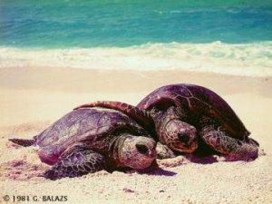 Anidan en Cuba tortugas en extinción