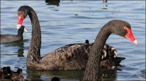 Cisnes de cuello negro: Fidelidad